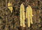 Közönséges mogyoró (Corylus avellana)