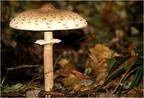 Őzlábgomba (Macrolepiota procera)