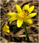 Salátaboglárka (Ranunculus ficaria)