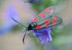 Acélszínű csüngőlepke (Zygaena filipendulae)
