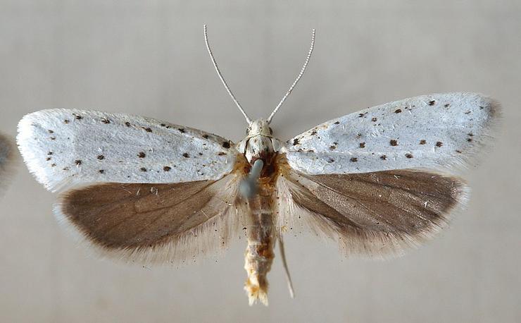 Pókhálós kecskerágómoly (Yponomeuta cognagella) - Sarefo.jpg