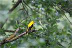Sárgarigó (Oriolus oriolus)