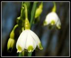 Tavaszi tőzike (Leucojum vernum)