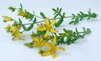 Gyógynövények szárítása