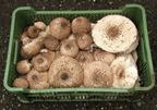 Bazídiumos gombák