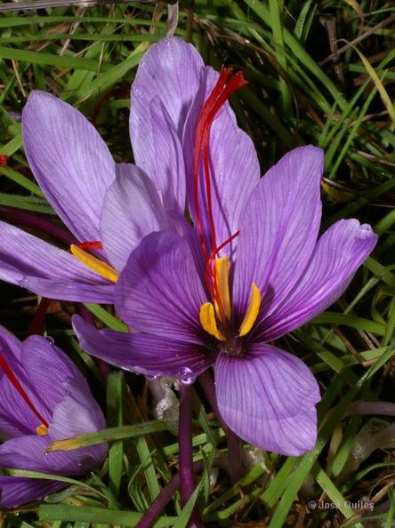 Jóféle sáfrány (Crocus sativus) 2 José Quiles Hoyo.jpg