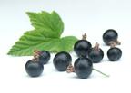 Fekete ribizli (Ribes nigrum)