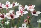 Virágkákafélék családja
