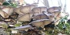 Fakorhasztó gombák - Ehetők és védettek