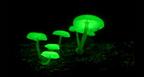 Világító gombák