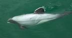 A Hector-delfin