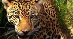 A jaguár