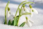 Három szerény hóvirág