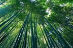 Bambuszok termesztése