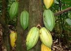 Kakaófa (Theobroma cacao)