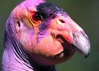 Kondorkeselyűk udvarló színekben