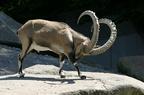 Alpesi kőszáli kecske (Capra ibex)