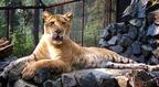 A liger is ilyen