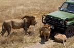 Ngorongoro - Ahol a szomszédok vad oroszlánok