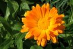 A körömvirág gyógyhatásai