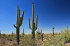 A saguaro