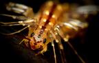 A légyölő pókszázlábú