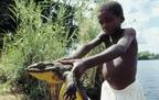 A góliátbéka