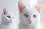 Heterokromia - Két szem különböző színekben