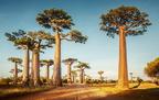 Baobab - Mi mindenre jó a majomkenyérfa?