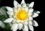 A tündérrózsa-virágúak rendje