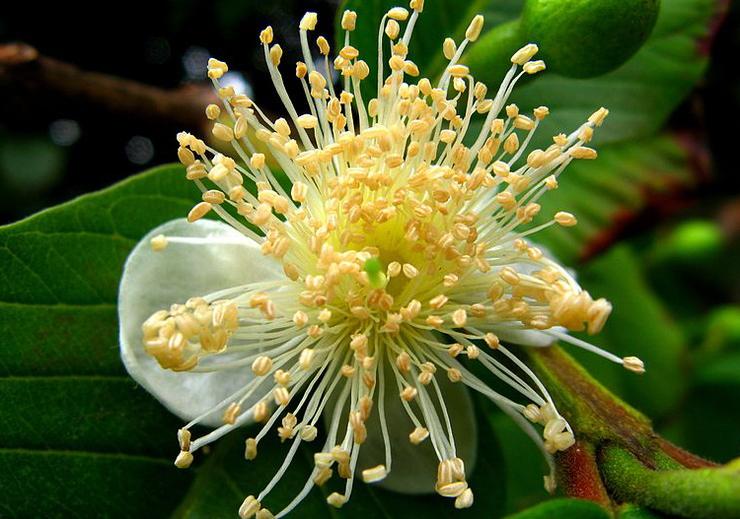 Közönséges guáva (Psidium guajava) mauroguanandi.jpg