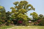 Kámforfa (Cinnamomum camphora)
