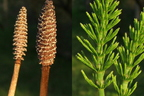 Mezei zsurló, a virágtalan gyógynövény