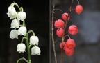 A rendkívül mérgező gyöngyvirág