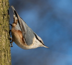 A Dashing Nuthatch