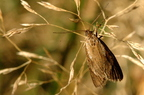 Télimoly (Diurnea lipsiella)