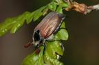Erdei cserebogár (Melolontha hippocastani)