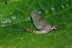 Tiszavirág (Palingenia longicauda)
