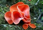 Narancsvörös csészegomba (Aleuria aurantia)