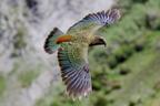 Kea - Az alpesi papagáj