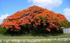 A tűzvirágfa