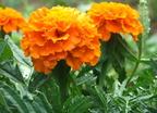 Ehető virágok a kertből
