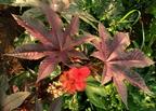 Ricinus (Ricinus communis)