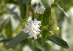Stevia, az édes gyógynövény