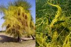 Élősködő növények