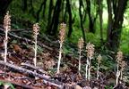 A gombákon élősködő madárfészek kosbor