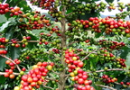 Arab kávé (Coffea arabica)