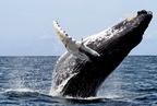 A hosszúszárnyú bálnák hosszú küzdelmei