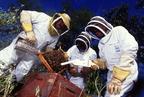 Afrikanizált méhek