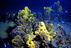 Szerves szenet termelő mélytengeri mikroorganizmusok